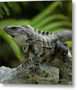 An Iguana Sunbathes In The Ancient Metal Print
