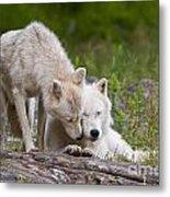 Arctic Wolves Metal Print