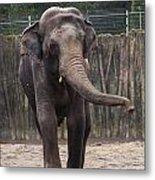 Asian Elephant Metal Print
