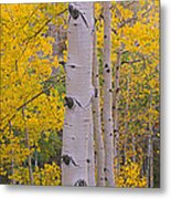 Aspen Trees In A Forest, Telluride, San Metal Print
