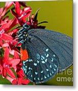 Atala Butterfly Metal Print