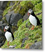 Atlantic Puffin, Fratercula Arctica Metal Print