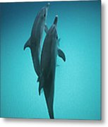 Atlantic Spotted Dolphin Pair Bahamas Metal Print