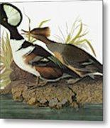 Audubon Merganser Metal Print