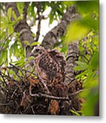 Baby Red Shouldered Hawk In Nest Metal Print