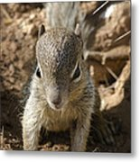 Baby Rock Squirrel Metal Print