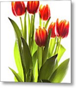Backlit Tulip Flowers Against White Metal Print