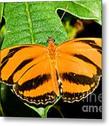 Banded Orange Butterfly Metal Print