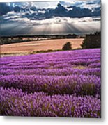 Beautiful Lavender Field Landscape With Dramatic Sky Metal Print