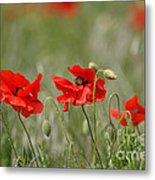 Beautiful Poppies 1 Metal Print