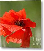 Beautiful Poppies 3 Metal Print