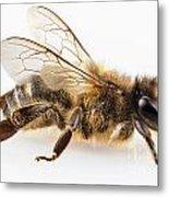 Bee Species Apis Mellifera Common Name Western Honey Bee Or Euro Metal Print