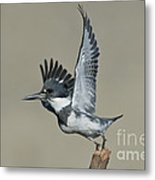 Belted Kingfisher Metal Print