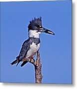 Belted Kingfisher With Fish Metal Print