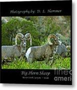 Big Horn Sheep Metal Print