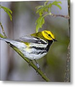 Black Throated Green Warbler Metal Print
