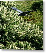 Blue Heron Flight  Metal Print