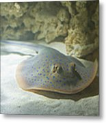 Blue Spotted Fantail Ray  Metal Print