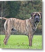 Boerboel Dog Metal Print