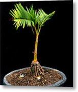 Bonsai Palm Tree Metal Print