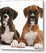 Boxer Puppies Metal Print