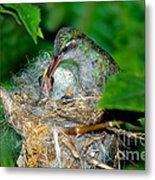 Broad-billed Hummingbird And Young Metal Print
