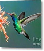 Broad-billed Hummingbird At Ocotillo Metal Print