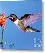 Broad-tailed Hummingbird Metal Print