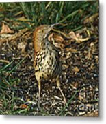 Brown Thrasher Metal Print
