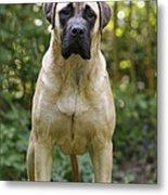Bullmastiff Dog Metal Print