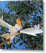 Cacatoes A Huppe Orange Cacatua Metal Print