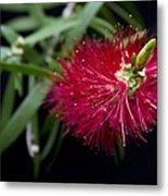 Callistemon Citrinus - Crimson Bottlebrush Hawaii Metal Print