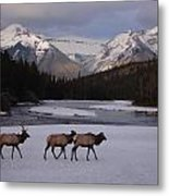 Elk Crossing, Banff National Park, Alberta Metal Print