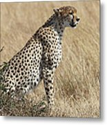 Cheetah Searching For Prey Metal Print
