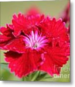 Cherry Dianthus From The Floral Lace Mix Metal Print
