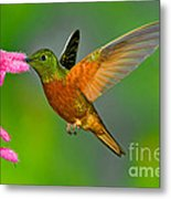Chestnut-breasted Coronet Metal Print