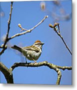 Chipping Sparrow Perched In A Tree Metal Print