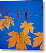 Close-up Of Fall Colored Maple Leaves Metal Print