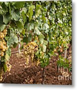 Close Up Of Ripe Wine Grapes On The Vine Ready For Harvesting Metal Print