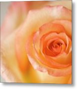 Close Up Of Single Rose (rosa Hybrid) Metal Print
