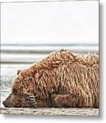 Coastal Brown Bear Picture  Metal Print
