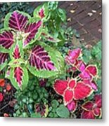 Coleus Excitement Metal Print