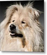 Collie Dog  Metal Print