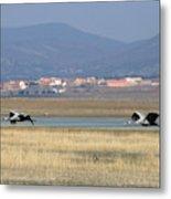 Common Cranes At Gallocanta Lagoon Metal Print