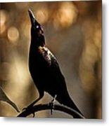 Common Grackle Metal Print