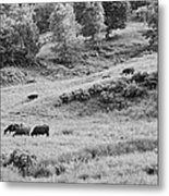 Cows Grazing In Field Rockport Maine Metal Print