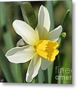 Cyclamineus Daffodil Named Jack Snipe Metal Print