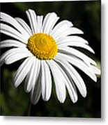 Daisy In The Garden Metal Print