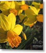 Dwarf Cyclamineus Daffodil Named Jet Fire Metal Print