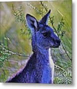Eastern Grey Kangaroo Metal Print